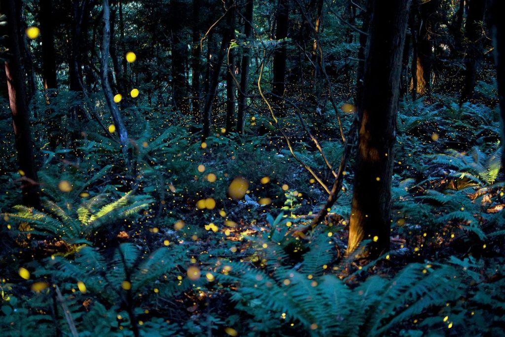 自然あふれる高原を飛び回るヒメボタルのイメージ