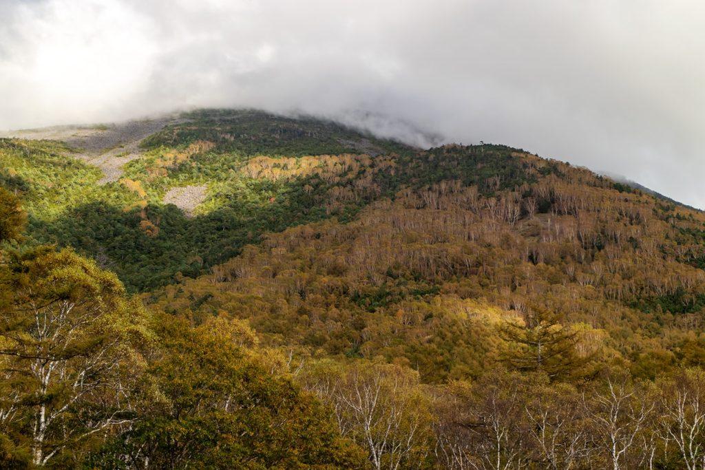 カンバ種(岳樺・白樺)の白い幹と常緑樹の濃い緑、紅葉とが混ざり合ったコントラスト