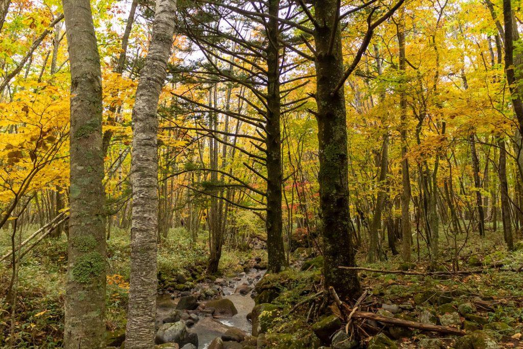 自然の沢の両岸には針葉樹と広葉樹が並び美しい光景を作り出します。