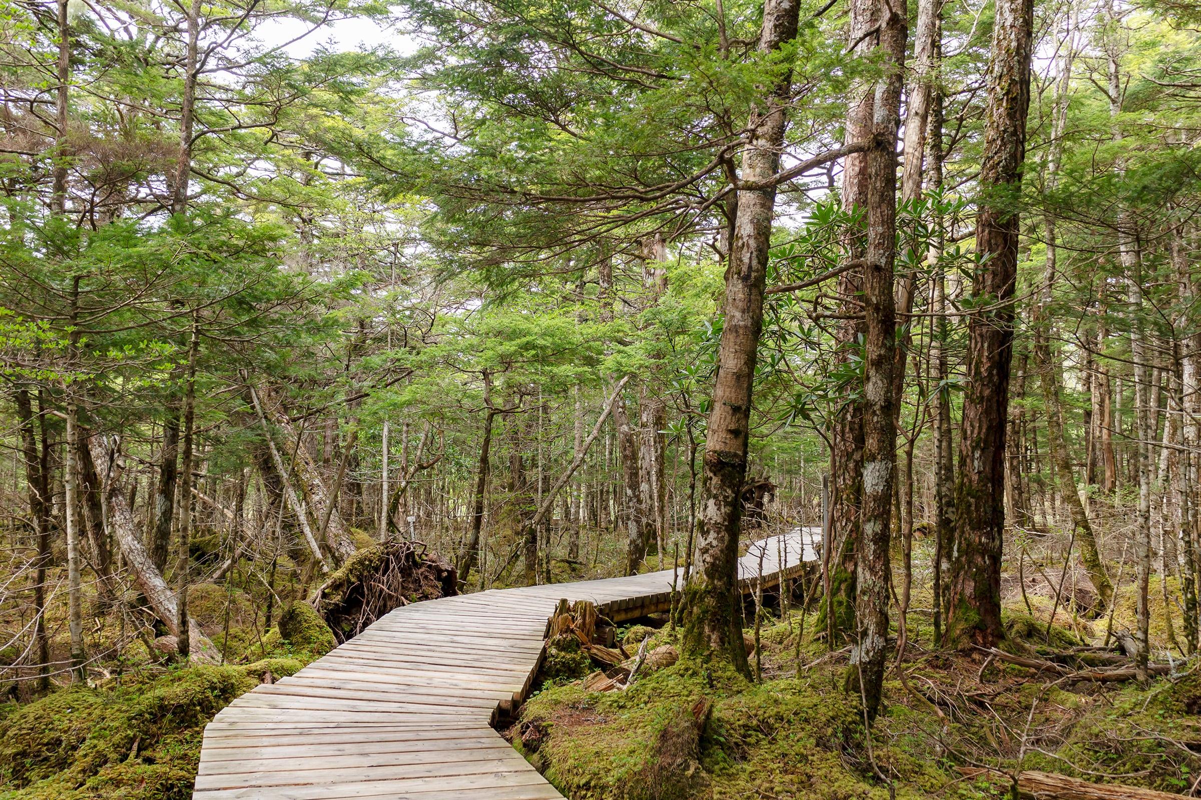 苔に覆われた原生林の中を進む遊歩道