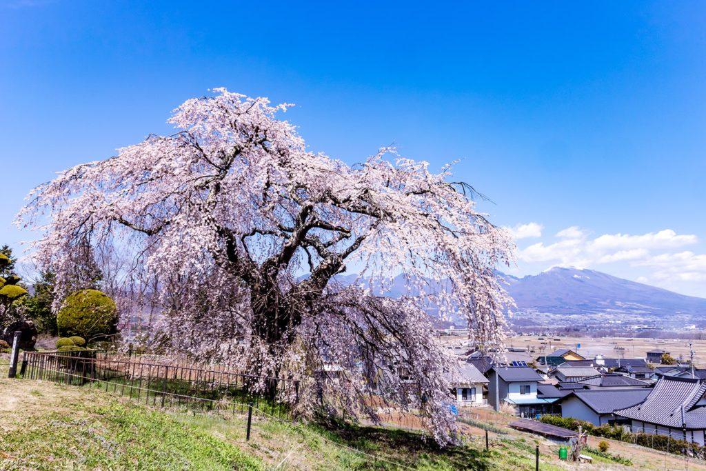 中山道から少し離れた場所で咲く枝垂桜。佐久平と浅間山を背に咲き誇る。