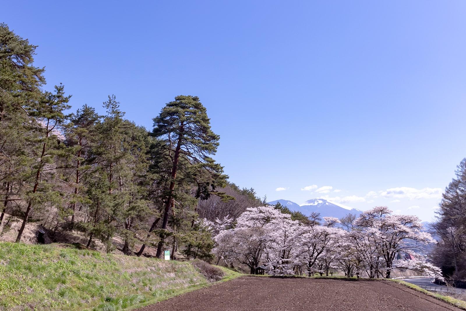 中山道でも数少ない松並木の残る笠取峠の松並木公園に咲く桜と浅間山