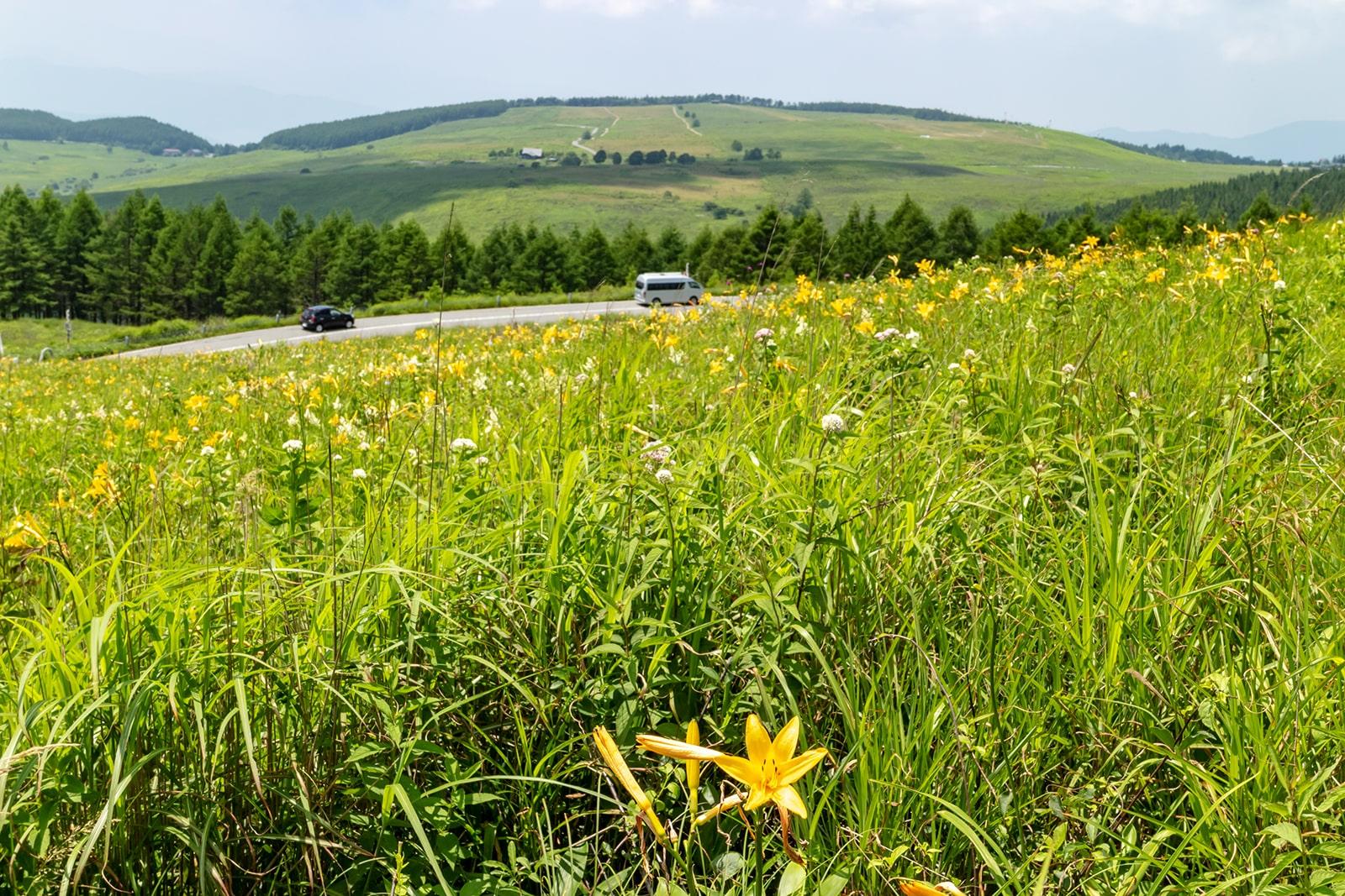 人気のドライブコース、ビーナスラインの沿道を彩るニッコウキスゲの群生地