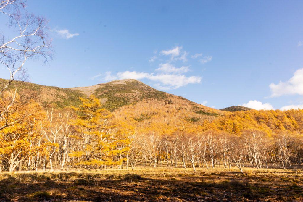 蓼科山でも標高の高い場所では広葉樹は散ってカラマツが徐々に色づいてきています。