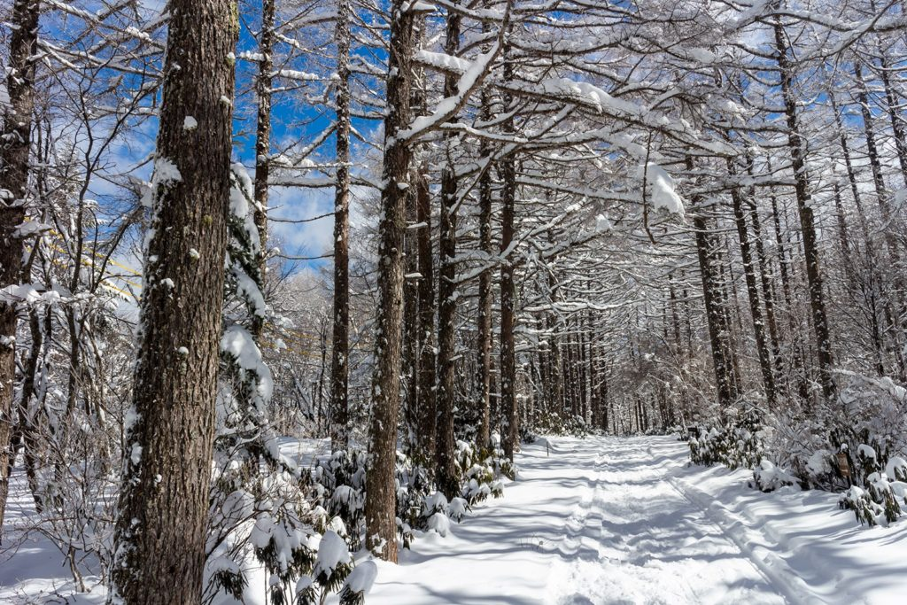 白樺高原国際スキー場のクロカンチャレンジコースは木々の間を5kmにわたり滑ることができる。