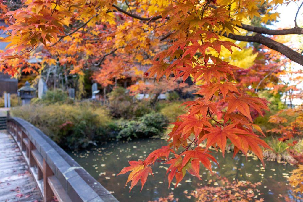 2020年11月4日、信州中山道近くにある津金寺のカエデ。美しく色づいている。